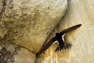 White-throated Swift torpedoing into its rocky nest.  Photo taken at Peshastin Pinnacles State Park near Cashmere, Washington.
