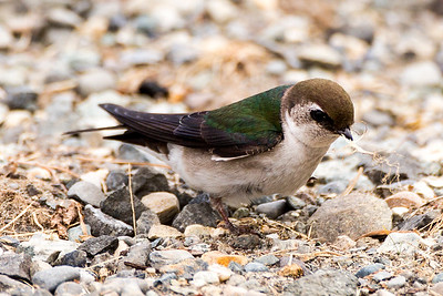 Female Violet-green Swallow at Point No Point County Park in Hansville, Washington.