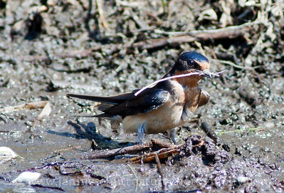 Barn Swallow gathering nesting material.  Photo taken by the shore of Dry Falls Lake in Dry Falls/Sun Lakes State Park near Coulee City, Washington.