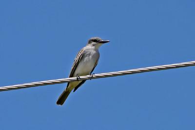 Gray Kingbird (April 7, 2012)