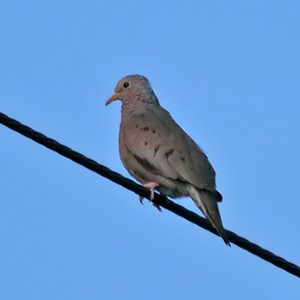 Common Ground Dove (May 6, 2012)