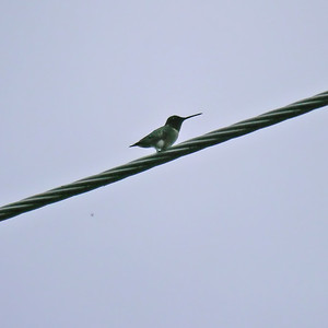 Ruby-throated Hummingbird (♂)