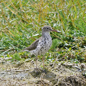 Spotted Sandpiper (with spots!)