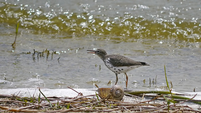 Spotted Sandpiper (with non-native Apple Snail)