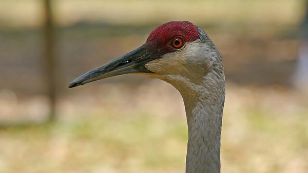 Sandhill Crane (lunch mate)