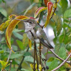 Ruby-throated Hummingbird (♀)