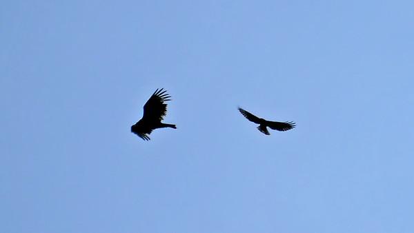 Turkey Vulture (left), Short-tailed Hawk (dark morph) (right)