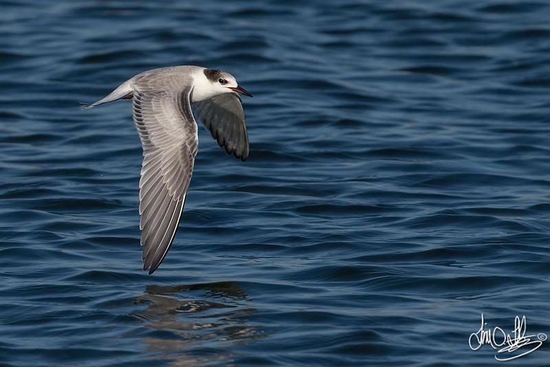 Common Tern Inflight