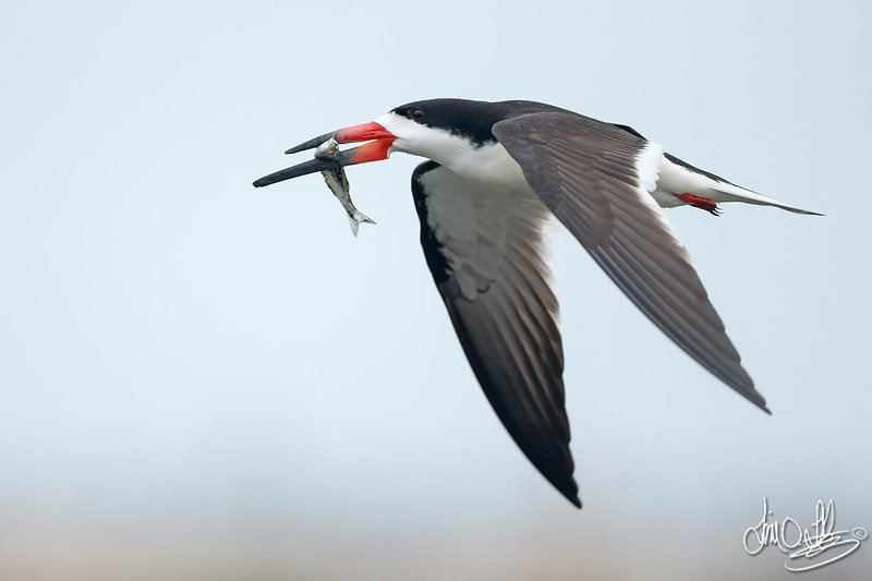 Black Skimmer with an Early Morning Catch
