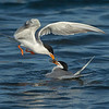 Forster's Tern feeding its mate