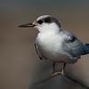 Forster's Tern Juvenile