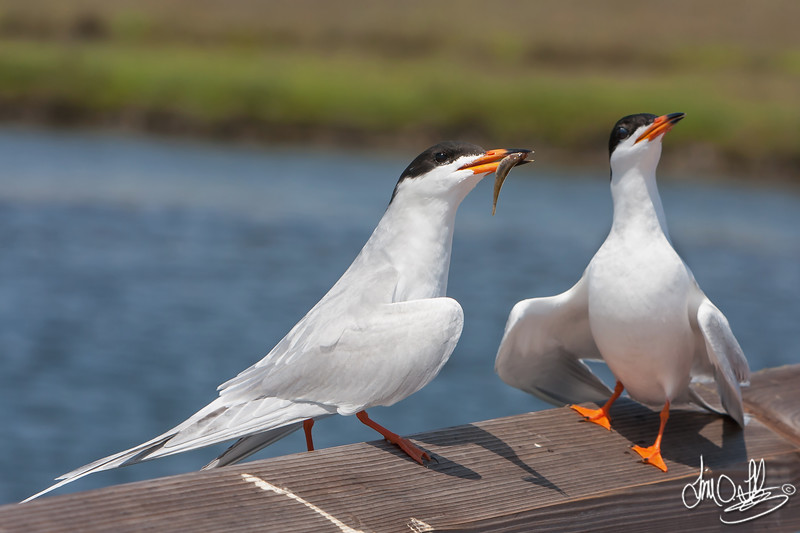 Forster's Terns during a Courtship Exchange
