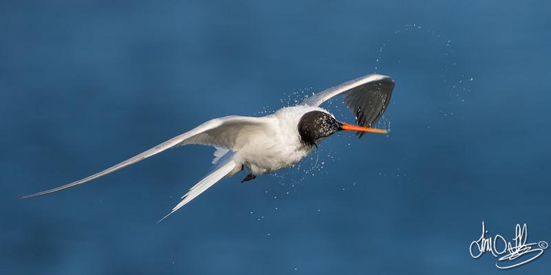 Elegant Tern shaking after a dive