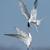 Forster's Terns fighting