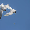Elegant Terns Squabbling over a Fish