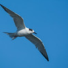 Forster's Tern Bolsa Chica Wetlands • Huntington Beach, CA