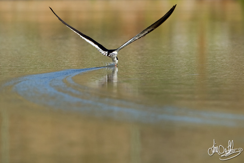 Black Skimmer with a Nice Trailing Wake