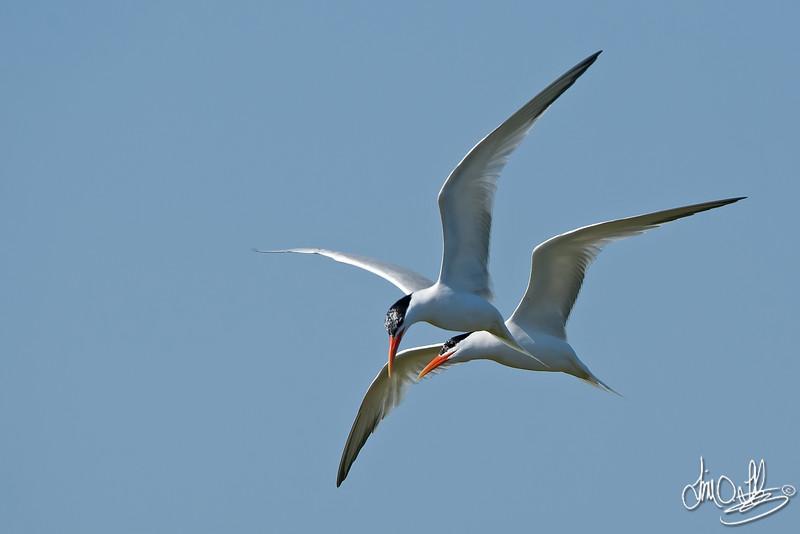 Elegant Terns Courting In-Flight