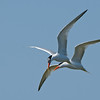Elegant Terns Courting In-Flight