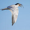 Forster's Tern swallowing it's catch