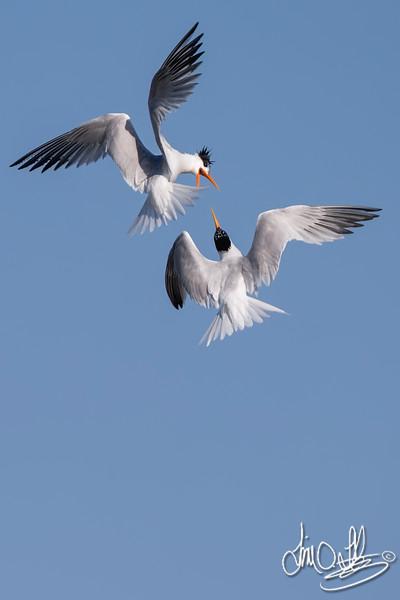 Elegant Terns having a Mid-Air Squabble