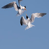 Elegant Terns having a Mid-Air Squabble