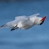 Caspian Tern shaking