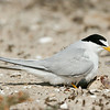 Least Tern with Hatching Chick