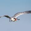 Elegant Tern fish flip