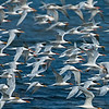 Elegant Terns In-Flight