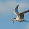 Elegant Tern with Catch