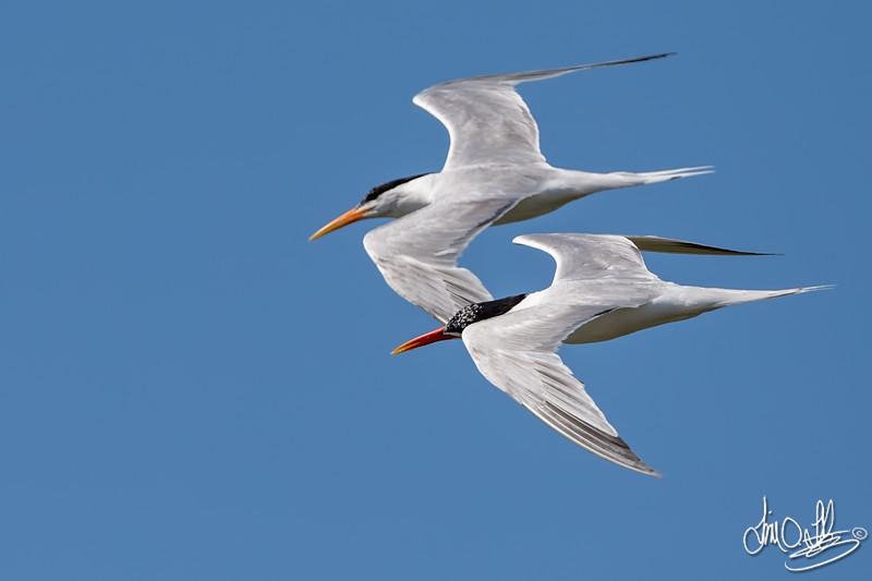 Elegant Terns and Courtship Flight