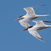 Elegant Terns and Courtship Flight