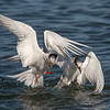 Common Terns Fighting over a Fish