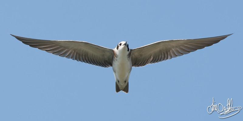 Black Tern