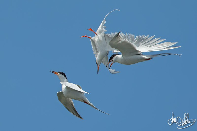 Forster's Terns Mid-Air Collision