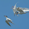 Forster's Terns mid-air collision Bolsa Chica Wetlands • Huntington Beach, CA