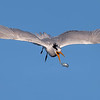 Elegant Tern mid-air fish flip