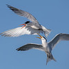 Elegante Tern Fight