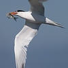 Elegant Tern with a Fresh Caught Fish