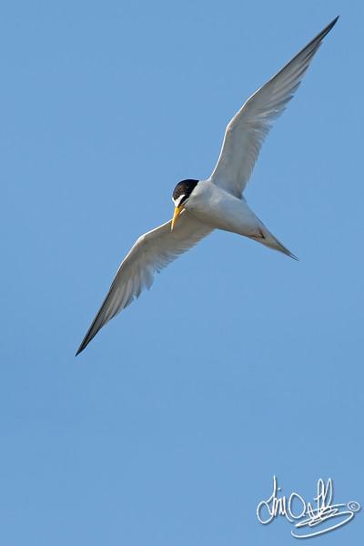 Least Tern In-Flight