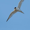 Least Tern In-Flight