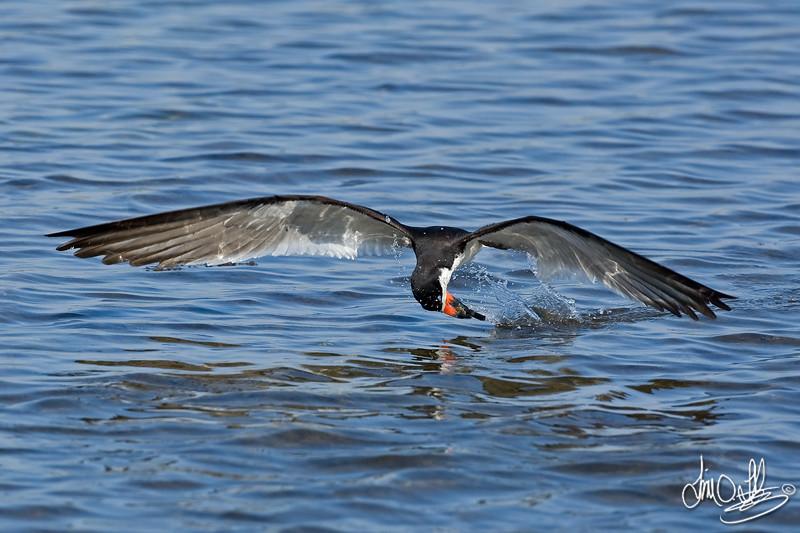 Black Skimmer catching a fish