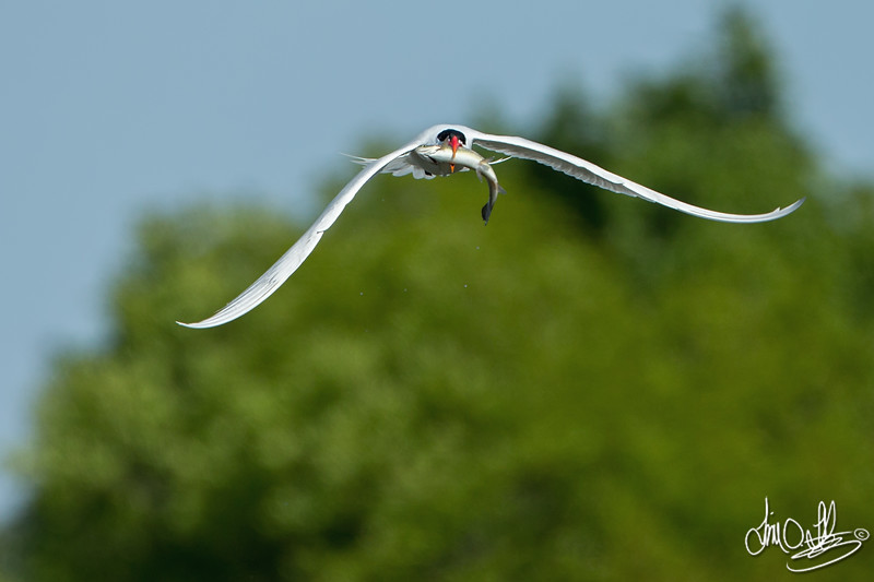 Caspian Tern with a Trout
