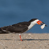 Black Skimmer Playing with a Shell