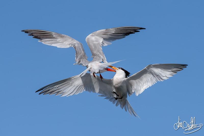 Elegante Tern Fight