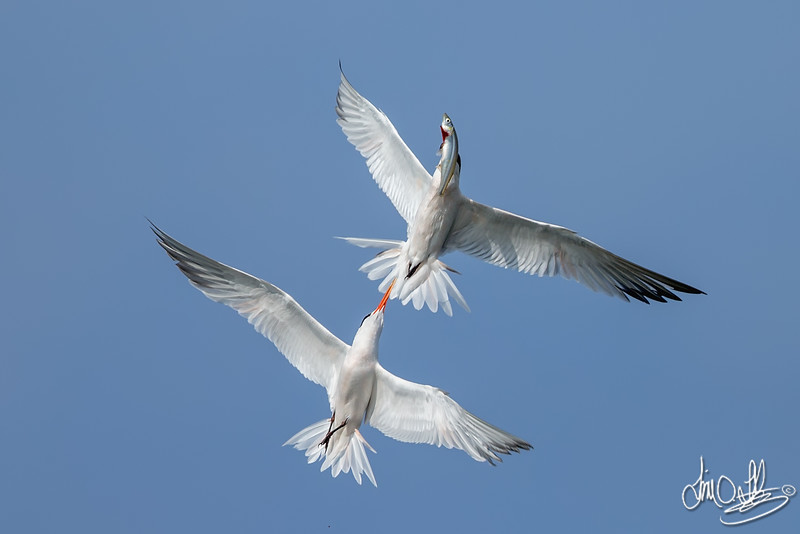 Elegant Terns fighting over a fish