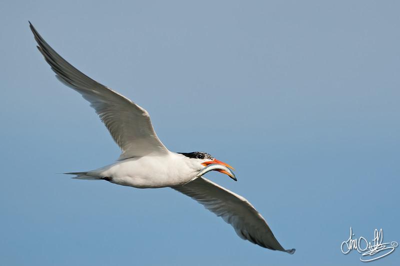 Elegant Tern with Catch