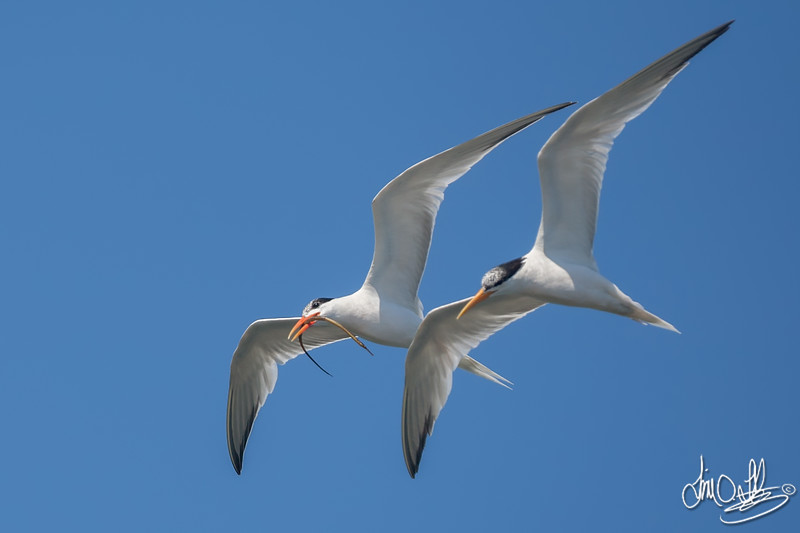 Courting Elegant Terns with a Pipefish
