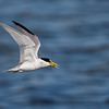 Least Tern with catch